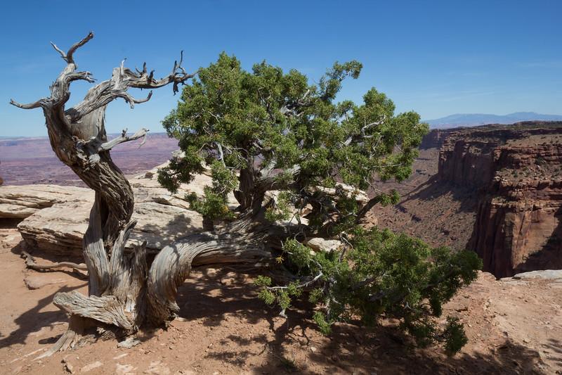 Juniperus osteosperma
