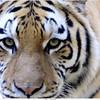 Siberische tijger / Siberian tiger