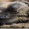 Afrikaanse doornstaartagame / Bell's dabb lizard