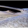 Kroeskoppelikaan / Dalmatian pelican