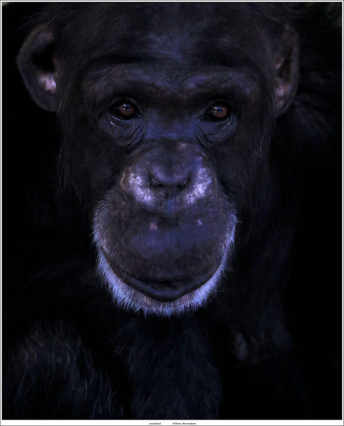Chimpansee / Common chimpanzee