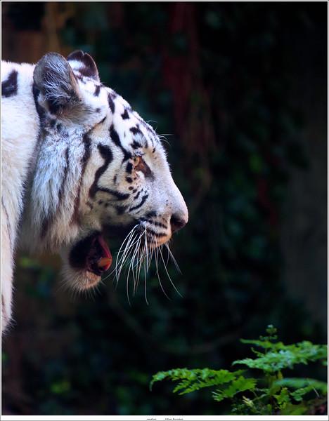 Witte tijger / White tiger