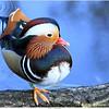 Mandarijn eend / Mandarin duck