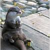 Kleinklauwotter / Oriental small-clawed otter