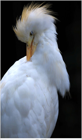 Koereiger / Cattle egret