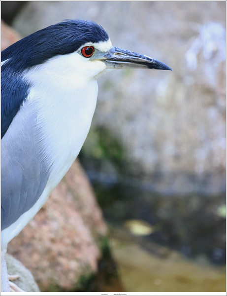 Kwak / Black-crowned night heron