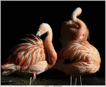 Chilean flamingo's in the afternoon sun