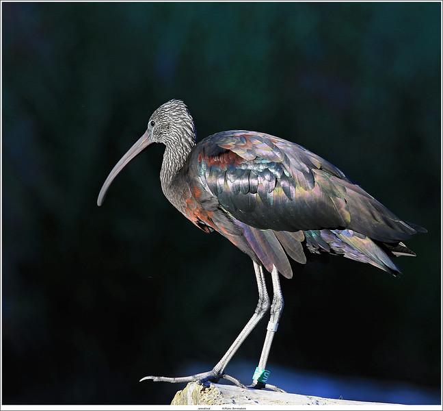 Zwarte ibis / Glossy ibis