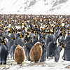 The main King Penguin nesting area at Fortuna Bay had 50,000 pairs - stunning to see and hear so many up close.