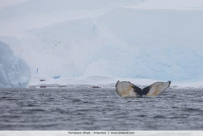 Humpback Whale - Antarctica