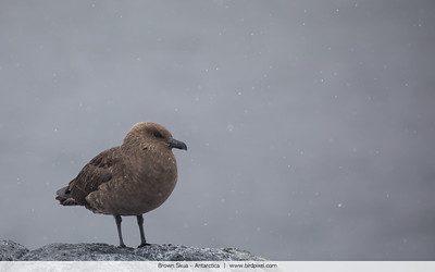 Brown Skua - Antarctica