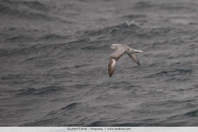 Southern Fulmar - Antarctica