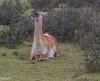 Lama guanicoe
