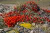 Anarthrophyllum desideratum