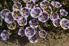 Petunia patagonica