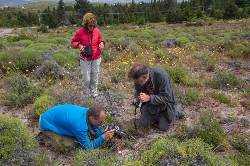 Marcella Ferreyra shows us Mutisia spinosa or M. oliogodon