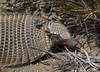 Chaetophractus villosus