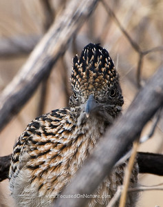 Greater Roadrunner Hiding