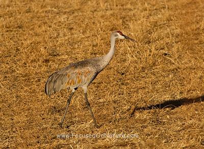Foraging Sandhill Crane