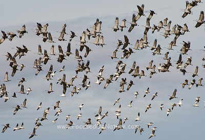 Sandhill Cranes and Snow Geese in Flight