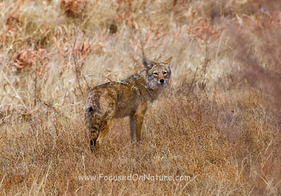 Bosque Del Apache Coyote
