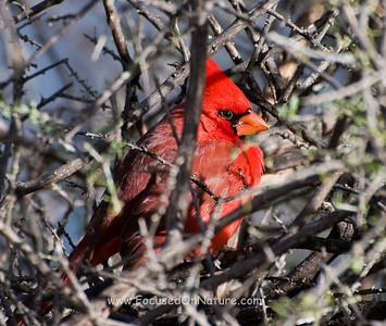 Northern Cardinal Hiding