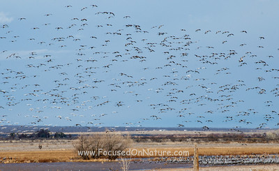 Thousands of Sandhill Cranes at Whitewater Draw