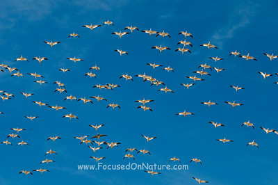 Snow Geese Formation Flyby