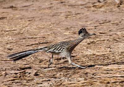 Greater Roadrunner Running