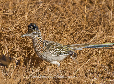 Greater Roadrunner in Brush