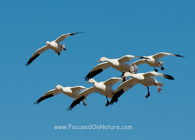 Snow Geese Preparing to Land