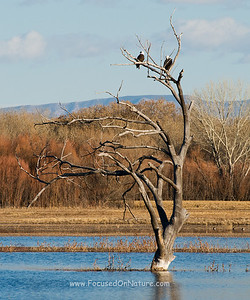 Bosque Del Apache's Bald Eagles