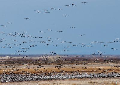 Sandhill Crane Flock Landing