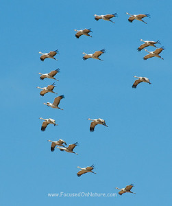 Sandhill Cranes in Formation
