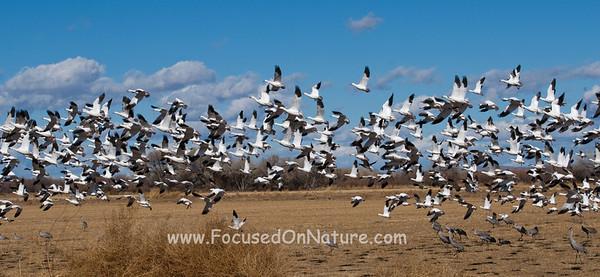 Snow Goose Flock