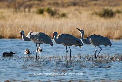 Backlit Sandhill Cranes