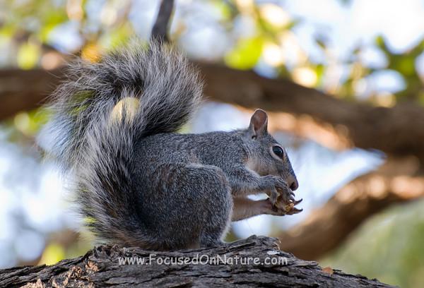 Arizona Gray Squirrel