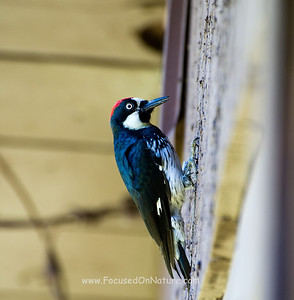 Acorn Woodpecker - Job Done