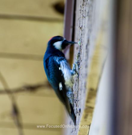 Acorn Woodpecker - Pounding Acorn
