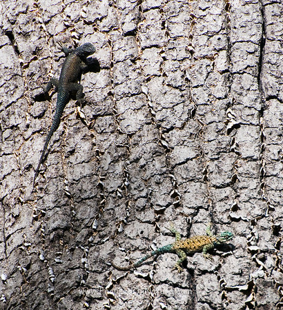 A Pair of Spiny Lizards (Clark's and Yarrow's)