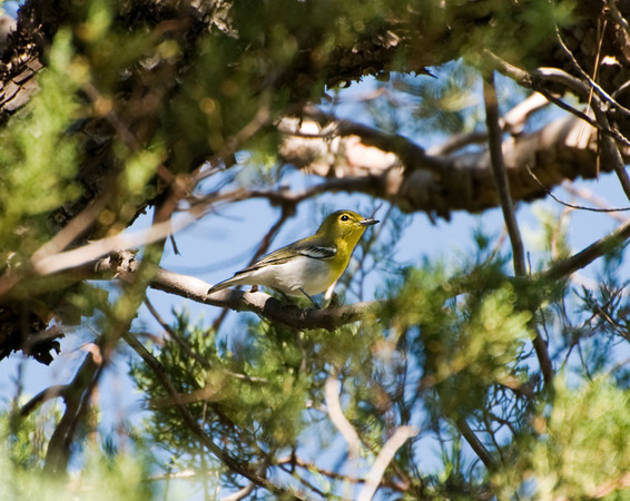 Yellow-throated Vireo (A rare find West of the Mississippi)