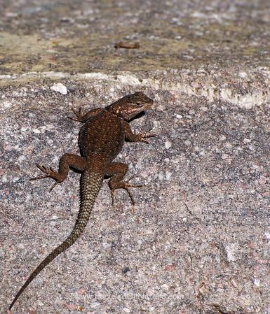 Yarrow's Spiny Lizard