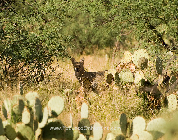 Coyote in the Cactus