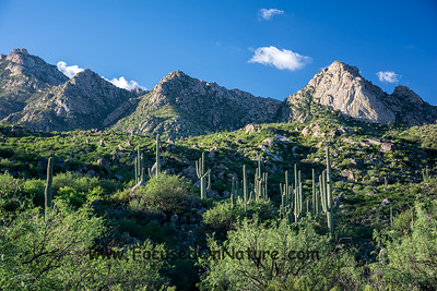 Saguaros and the Catalinas
