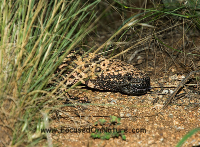 Gila Monster Closeup