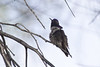 Male Costa's hummingbird  #1