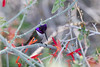 Male Costa's hummingbird #3 - this one with the light hitting the head just right to show how purple they can look.