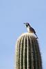 Cactus wren on a cactus (imagine that!)