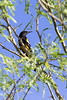 Scott's oriole #1 (second life bird of the trip)