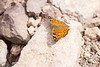 An  _Asterocampa leilia_ (Empress Leilia) butterfly